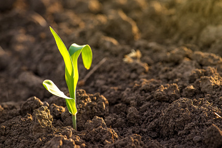 Photo pour Growing Young Green Corn Seedling Sprouts in Cultivated Agricultural Farm Field, Selective Focus with Shallow Depth of Field - image libre de droit