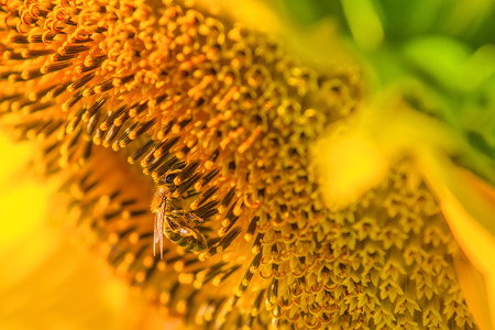 Photo for Honey bee and blooming sunflower, honeybee extracts nectar from flower, close up with selective focus - Royalty Free Image