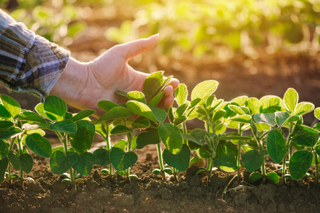 Foto de Close up of female farmer hand examining soybean plant leaf in cultivated agricultural field, agriculture and crop protection - Imagen libre de derechos