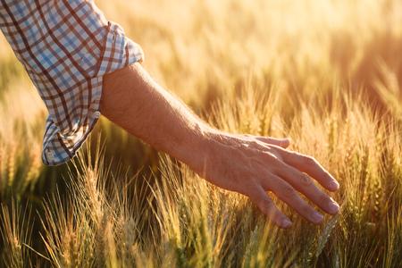 Foto de Taking care of crops, hand of a farmer touching ripe wheat ears in cultivated field - Imagen libre de derechos