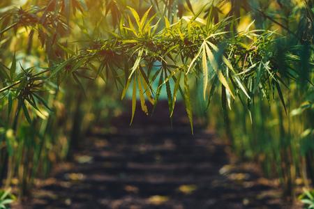 Photo pour Growing organic hemp on plantation, conceptual image - image libre de droit