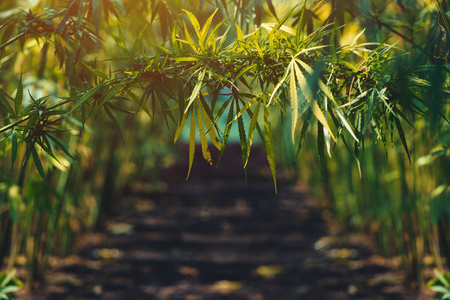 Photo for Growing organic hemp on plantation, conceptual image - Royalty Free Image