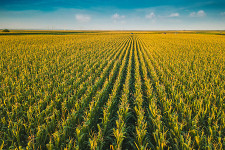 Photo for Aerial drone view of cultivated green corn field landscape - Royalty Free Image