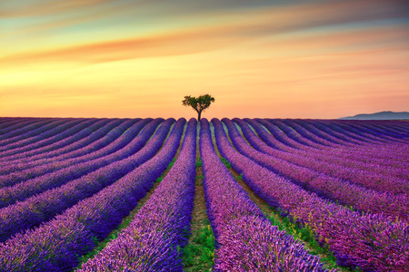 Photo pour Lavender flowers blooming field, lonely trees uphill on sunset. Valensole, Provence, France, Europe. - image libre de droit