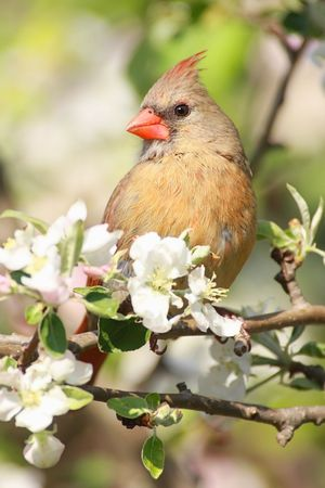Female Northern Cardinal (cardinalis cardinalis) in an Apple Tree with blossoms