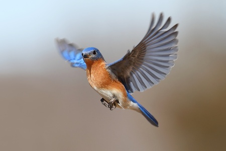 Photo pour Male Eastern Bluebird (Sialia sialis) in flight - image libre de droit