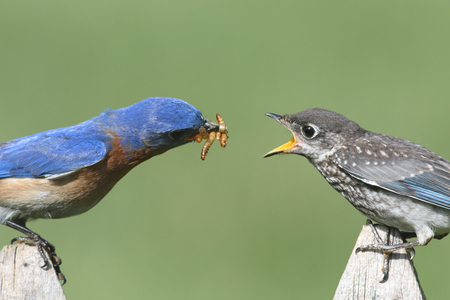 Photo pour Male Eastern Bluebird (Sialia sialis) feeding his hungry baby - image libre de droit