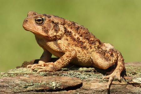 Photo pour American Toad (Bufo americanus) with a green background - image libre de droit