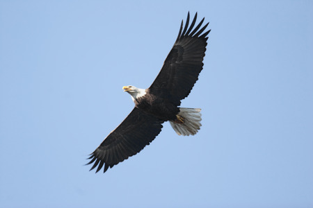 Foto per Adult Bald Eagle (haliaeetus leucocephalus) in flight against a blue sky - Immagine Royalty Free
