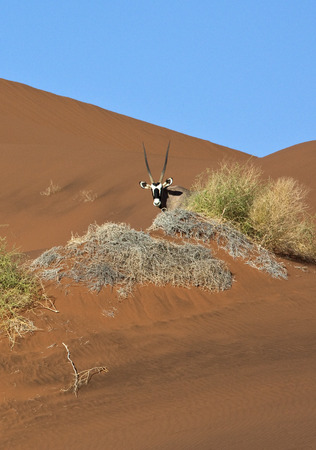 Photo pour A Gemsbok (Oryx gazella) in the Namib Desert in Namibia - image libre de droit