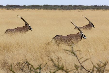Photo pour Three Gemsbok (Oryx gazella) walking in the grasslands of Etosha National Park in northern Namibia, Africa. - image libre de droit