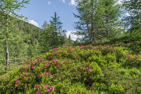 Photo pour Alpine rose bush in the Alps, Austria - image libre de droit