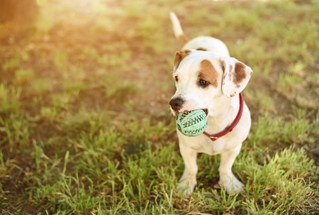 American staffordshire terrier dog play his ball
