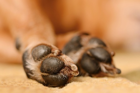 Photo for Closeup photo of dog paw, detail - Royalty Free Image