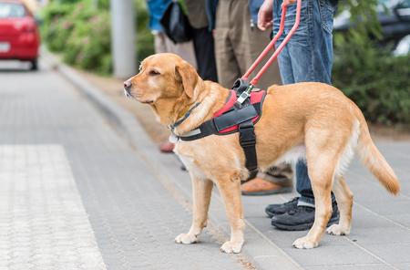 Foto de Guide dog is helping a blind man in the city - Imagen libre de derechos