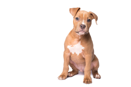 Photo pour American staffordshire terrier dog on a white background - image libre de droit