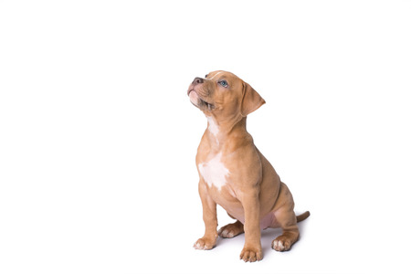 Photo pour American staffordshire terrier isolated on a white background - image libre de droit