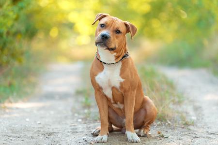 Photo pour Strong and beautiful American staffordshire terrier portrait in the park - image libre de droit