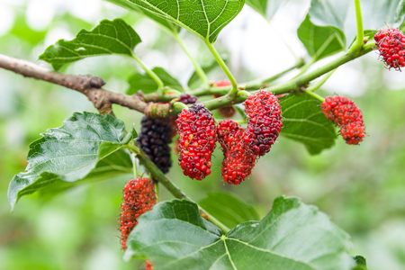 Photo for Mulberry on tree with blur background. - Royalty Free Image