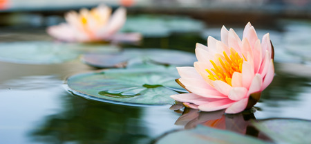Photo pour Beautiful Pink Lotus, water plant in a pond - image libre de droit