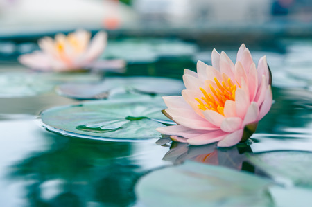 Foto de Beautiful Lotus, water lily in pond - Imagen libre de derechos