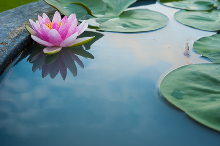 Foto de Beautiful Pink Lotus, water plant with reflection in a pond - Imagen libre de derechos