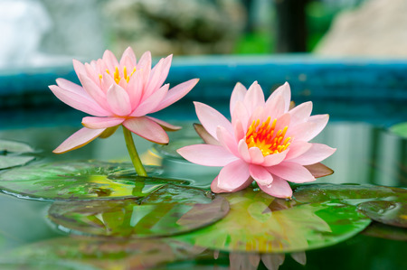 Photo pour Pink Lotus or water lily in pond - image libre de droit