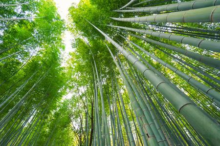 Photo for Bamboo grove, bamboo forest at Arashiyama, Kyoto, Japan - Royalty Free Image