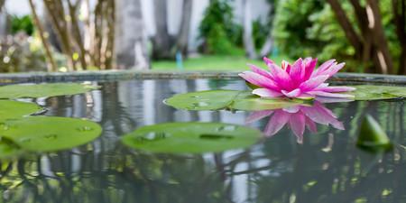 Foto de Pink lotus or water lily in pond - Imagen libre de derechos