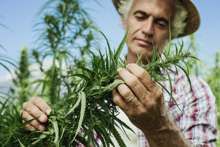 Foto für Farmer growing hemp and checking plants growth, agriculture and environment concept - Lizenzfreies Bild