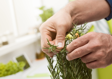 Photo pour Cook picking fresh homegrown rosemary, hands close up: mediterranean cuisine and natural herbs - image libre de droit