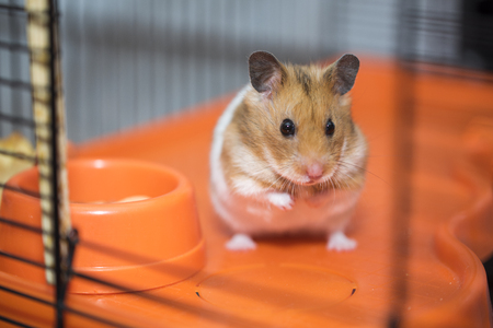 Photo for Hamster existential crisis. To be or not to be. - Royalty Free Image