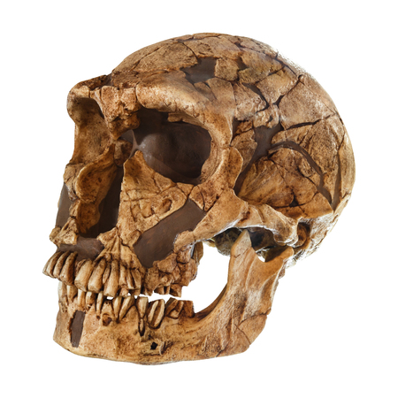Photo for Homo neanderthalensis skull . ( La Ferrassie ) . Dated to 50,000 years ago . Discovered in 1909 in La Ferrassie , France . - Royalty Free Image