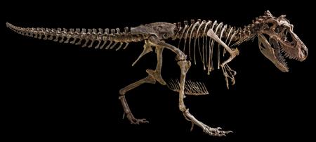 Foto de Tyrannosaurus Rex skeleton on isolated background . - Imagen libre de derechos