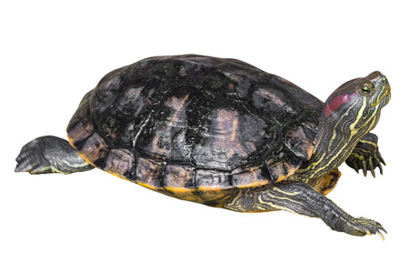 Photo pour Red eared slider turtle ( Trachemys scripta elegans ) is creeping and raise one's head on white isolated background . Side view . - image libre de droit