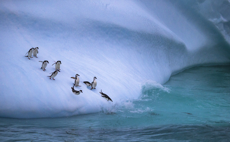 Photo for The group of penguins is rolling down the icy slope into the water. Andreev. - Royalty Free Image