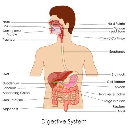 Illustration pour vector illustration of diagram of digestive system - image libre de droit