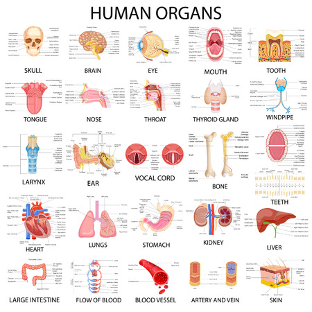 Illustrazione per vector illustration of complete chart of different human organs - Immagini Royalty Free