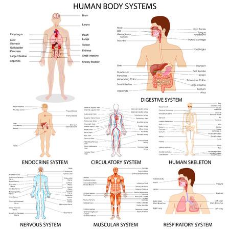 Illustration pour vector illustration of complete chart of different human organ system - image libre de droit