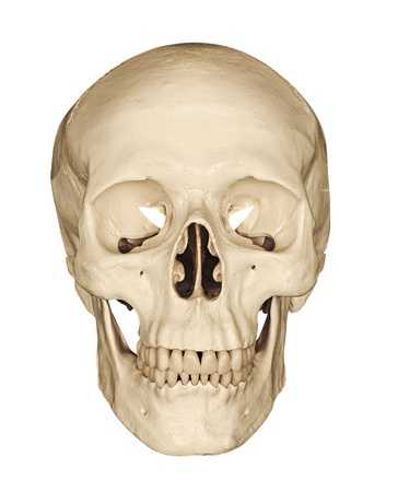 Photo pour Medical model of a human skull isolated against a white background often used in colleges and universities for teaching anatomical science - image libre de droit