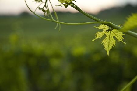 Photo pour landscape of the Tuscan hills and vineyards of Chianti - image libre de droit