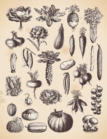 Illustration pour large collection of vintage vegetable illustrations - image libre de droit