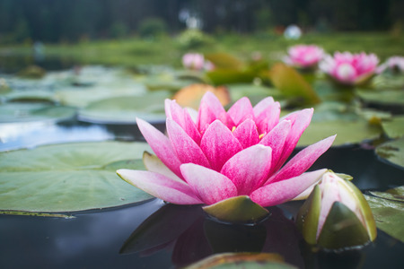 Photo pour lotus flower in pond - image libre de droit