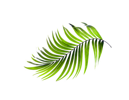 Photo pour Green leaves of palm tree on white background - image libre de droit