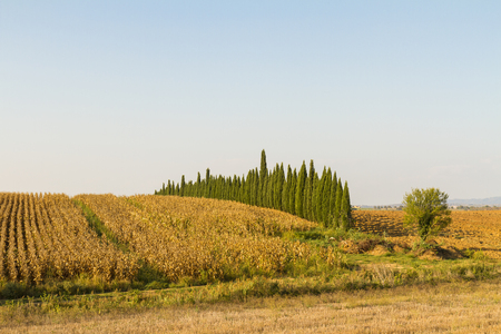 Photo for Tuscan countryside landscape with cypress trees and rows of vines - Royalty Free Image
