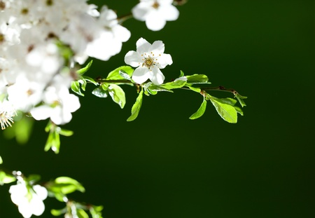 Beautiful, blooming white flowers on thin twig  Space for text