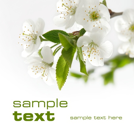 White flowers  Space for text isolated on solid color