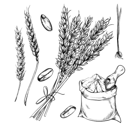 Illustration pour Wheat, rye and barley isolated on white background. Vector wheat. Engraved style. - image libre de droit
