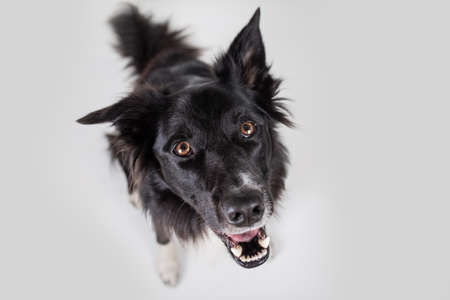 Photo pour Close up portrait of purebred dog funny emotion. Open mouth and big eyes looking up attentive staring, waiting for food. Astonished Border Collie expression, adorable pet isolated on white, copy space - image libre de droit