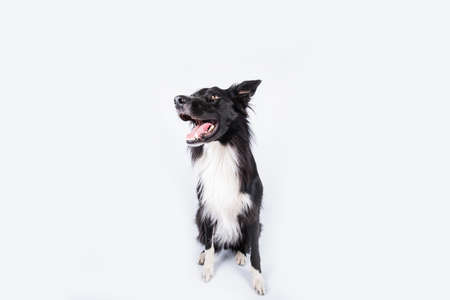 Photo pour Happy surprised purebred border collie dog looking up with his mouth opened mouth and big eyes looking up attentive staring, waiting for food. Astonished Border Collie expression, adorable pet isolated on white, copy space. - image libre de droit